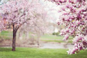 Ederlezi - tavaszváró ünnephez magnólia kép